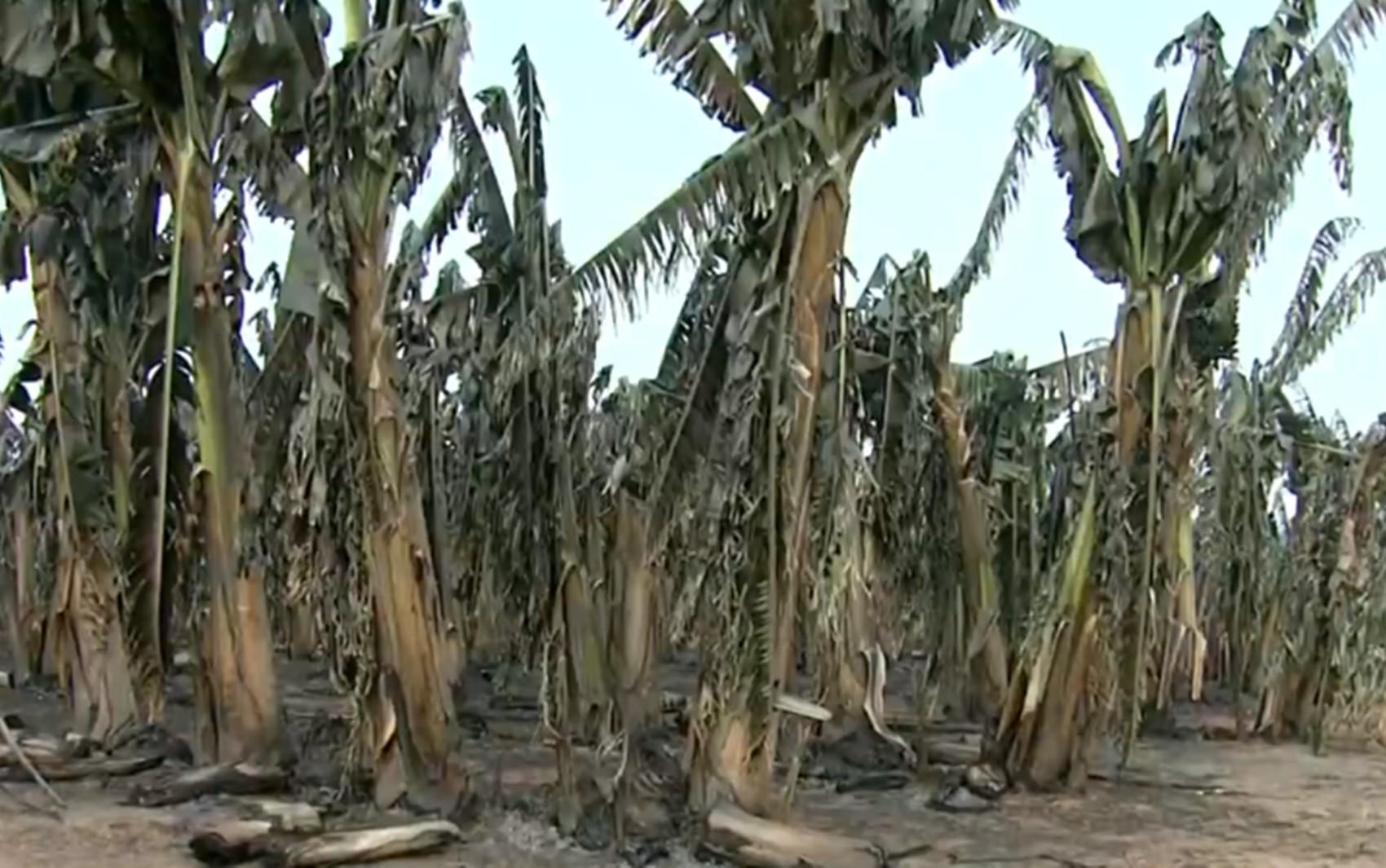 Bananal todo queimado pelo incêndio em Delfinópolis no Sul de Minas